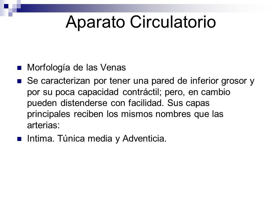Aparato Circulatorio Morfología de las Venas Se caracterizan por tener una pared de inferior grosor y por su poca capacidad contráctil; pero, en cambi