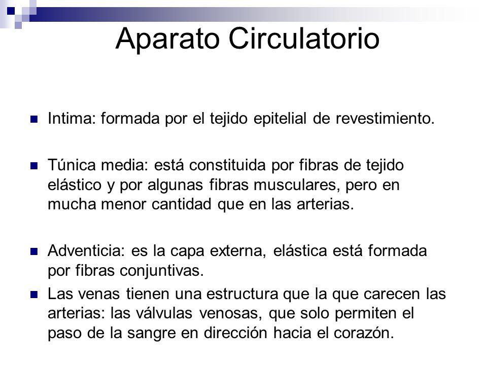 Aparato Circulatorio Intima: formada por el tejido epitelial de revestimiento. Túnica media: está constituida por fibras de tejido elástico y por algu