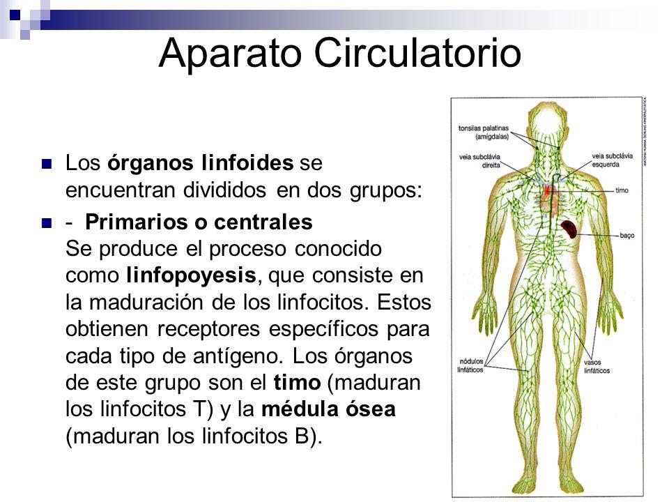 Aparato Circulatorio Los órganos linfoides se encuentran divididos en dos grupos: - Primarios o centrales Se produce el proceso conocido como linfopoy
