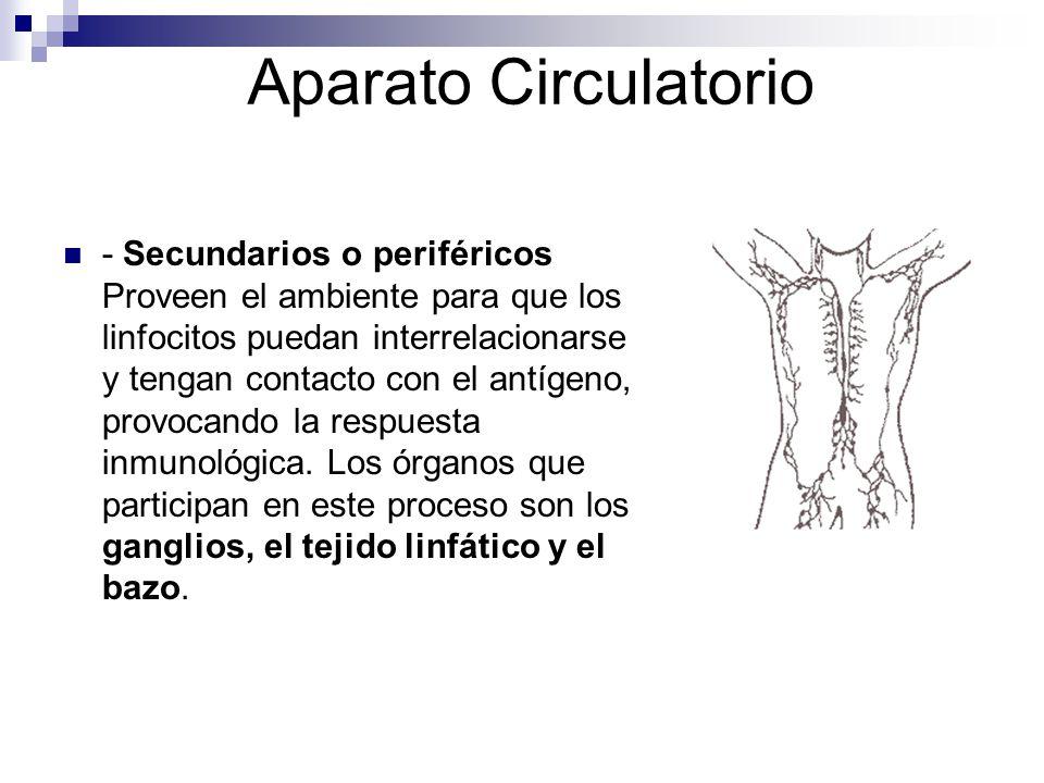 Aparato Circulatorio - Secundarios o periféricos Proveen el ambiente para que los linfocitos puedan interrelacionarse y tengan contacto con el antígen