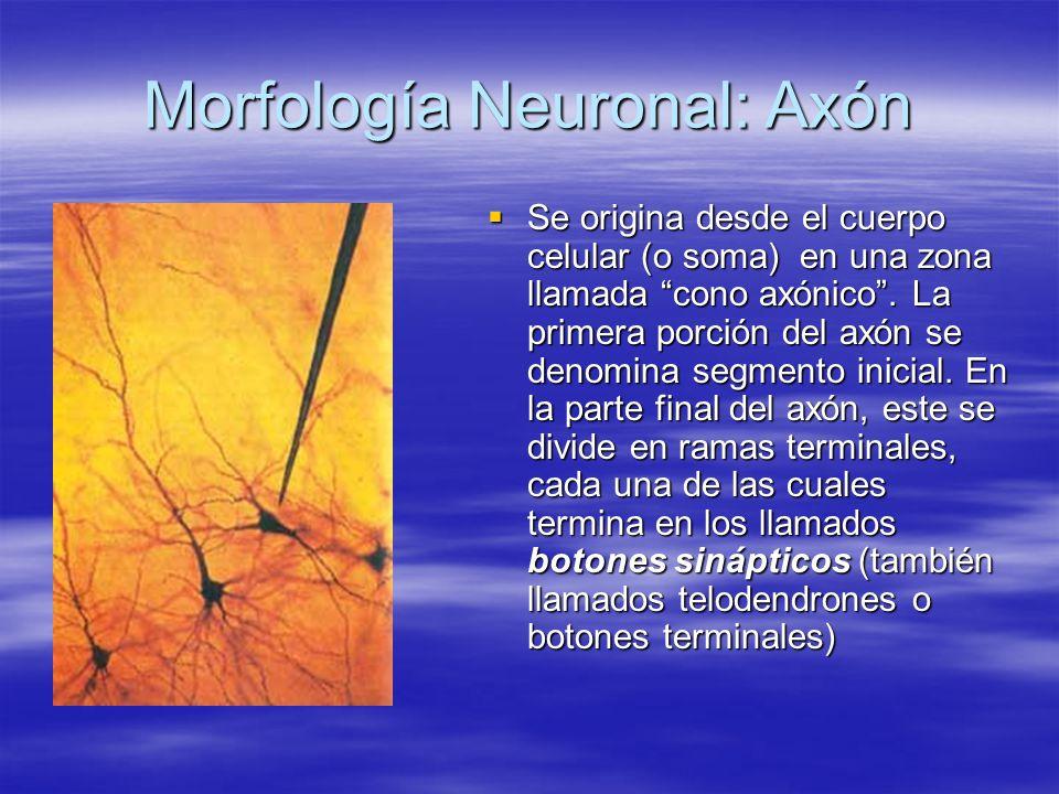 Morfología Neuronal: Axón Se origina desde el cuerpo celular (o soma) en una zona llamada cono axónico. La primera porción del axón se denomina segmen