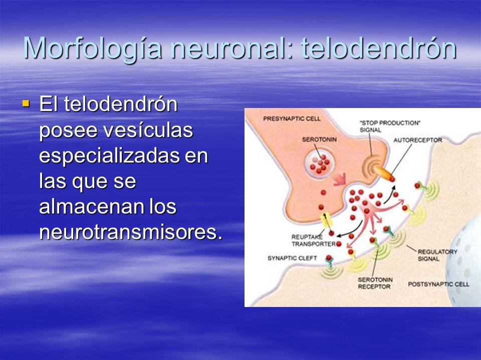 Morfología neuronal: telodendrón El telodendrón posee vesículas especializadas en las que se almacenan los neurotransmisores. El telodendrón posee ves
