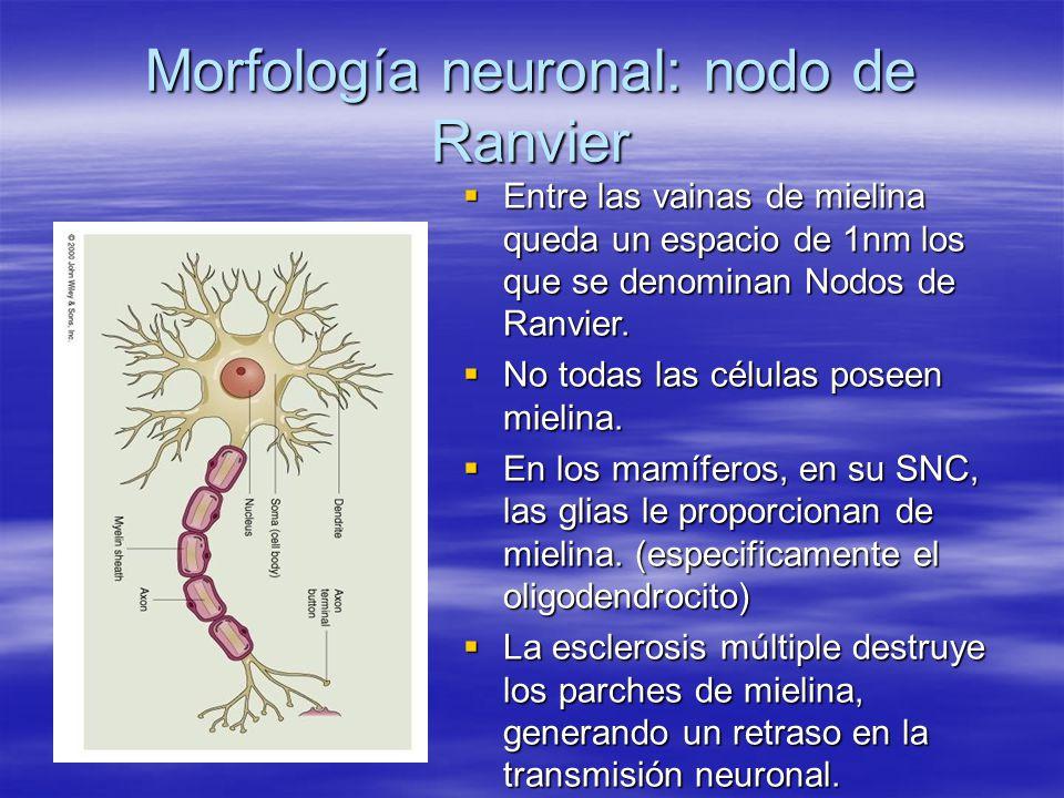 Morfología neuronal: nodo de Ranvier Entre las vainas de mielina queda un espacio de 1nm los que se denominan Nodos de Ranvier. Entre las vainas de mi