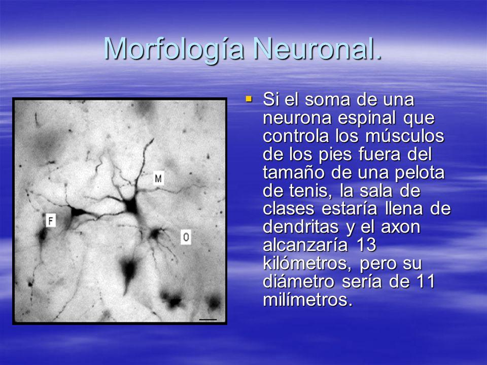 Morfología Neuronal. Si el soma de una neurona espinal que controla los músculos de los pies fuera del tamaño de una pelota de tenis, la sala de clase