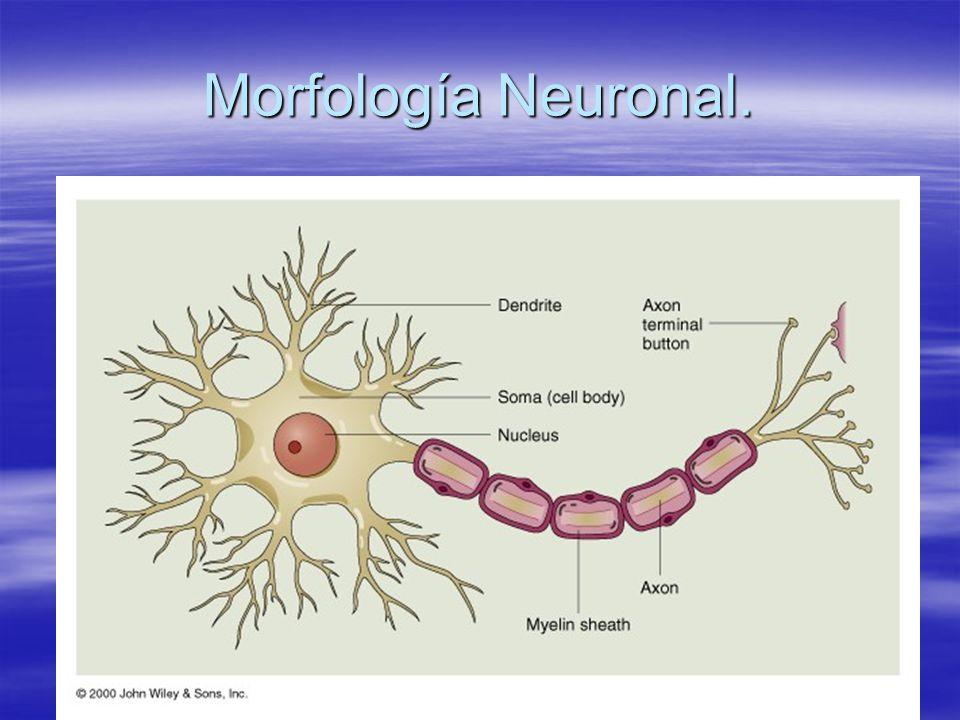 Morfología Neuronal: dendritas.
