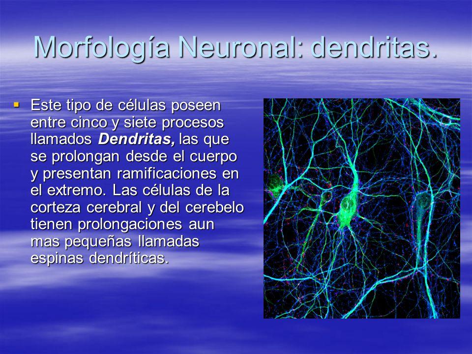 Morfología Neuronal: dendritas. Este tipo de células poseen entre cinco y siete procesos llamados Dendritas, las que se prolongan desde el cuerpo y pr