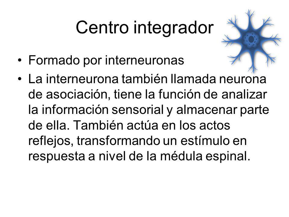Centro integrador Formado por interneuronas La interneurona también llamada neurona de asociación, tiene la función de analizar la información sensori