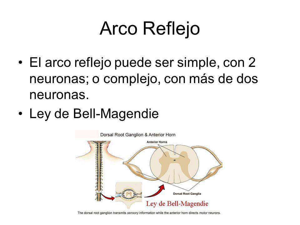 Arco Reflejo El arco reflejo puede ser simple, con 2 neuronas; o complejo, con más de dos neuronas. Ley de Bell-Magendie