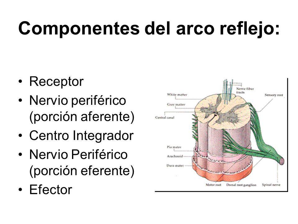 Componentes del arco reflejo: Receptor Nervio periférico (porción aferente) Centro Integrador Nervio Periférico (porción eferente) Efector
