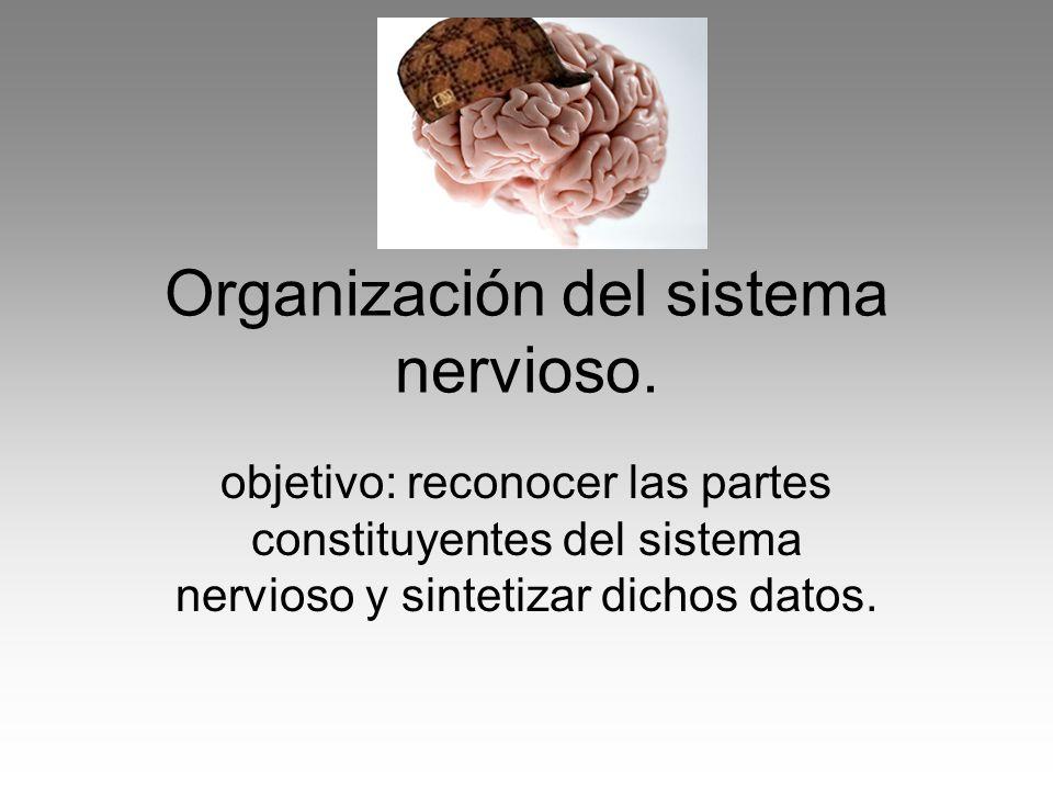 Organización del sistema nervioso. objetivo: reconocer las partes constituyentes del sistema nervioso y sintetizar dichos datos.