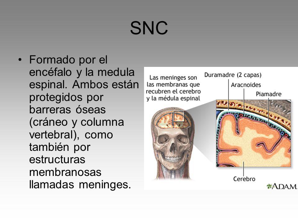 SNC Formado por el encéfalo y la medula espinal. Ambos están protegidos por barreras óseas (cráneo y columna vertebral), como también por estructuras