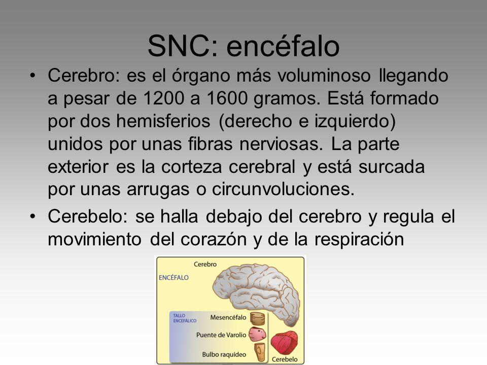Cerebro: es el órgano más voluminoso llegando a pesar de 1200 a 1600 gramos. Está formado por dos hemisferios (derecho e izquierdo) unidos por unas fi