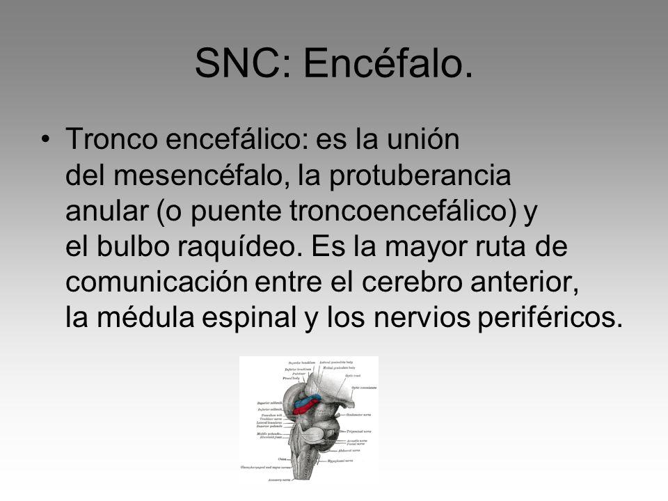 SNC: Encéfalo. Tronco encefálico: es la unión del mesencéfalo, la protuberancia anular (o puente troncoencefálico) y el bulbo raquídeo. Es la mayor ru