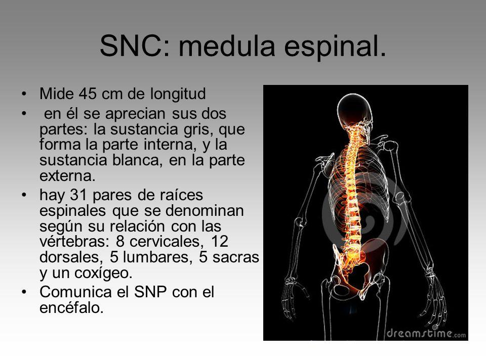 SNC: medula espinal. Mide 45 cm de longitud en él se aprecian sus dos partes: la sustancia gris, que forma la parte interna, y la sustancia blanca, en