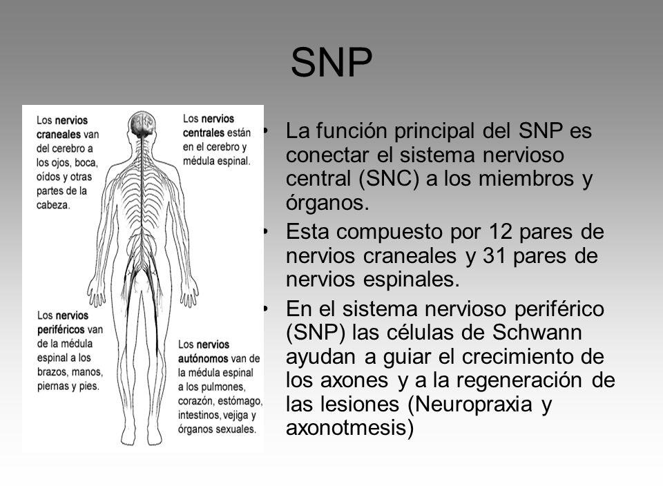 SNP La función principal del SNP es conectar el sistema nervioso central (SNC) a los miembros y órganos. Esta compuesto por 12 pares de nervios cranea