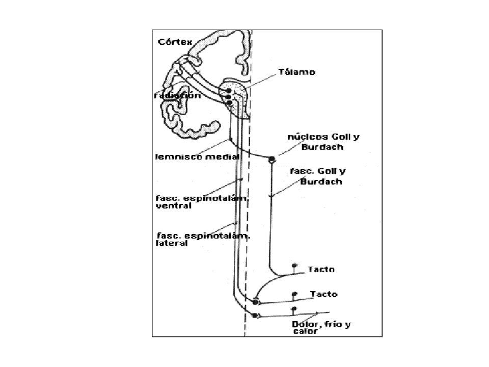 Vías sensoriales al SNC Vía de las columnas dorsales – lemnisco interno: se cruzan al lado opuesto en el bulbo llega al tálamo por el lemnisco interno