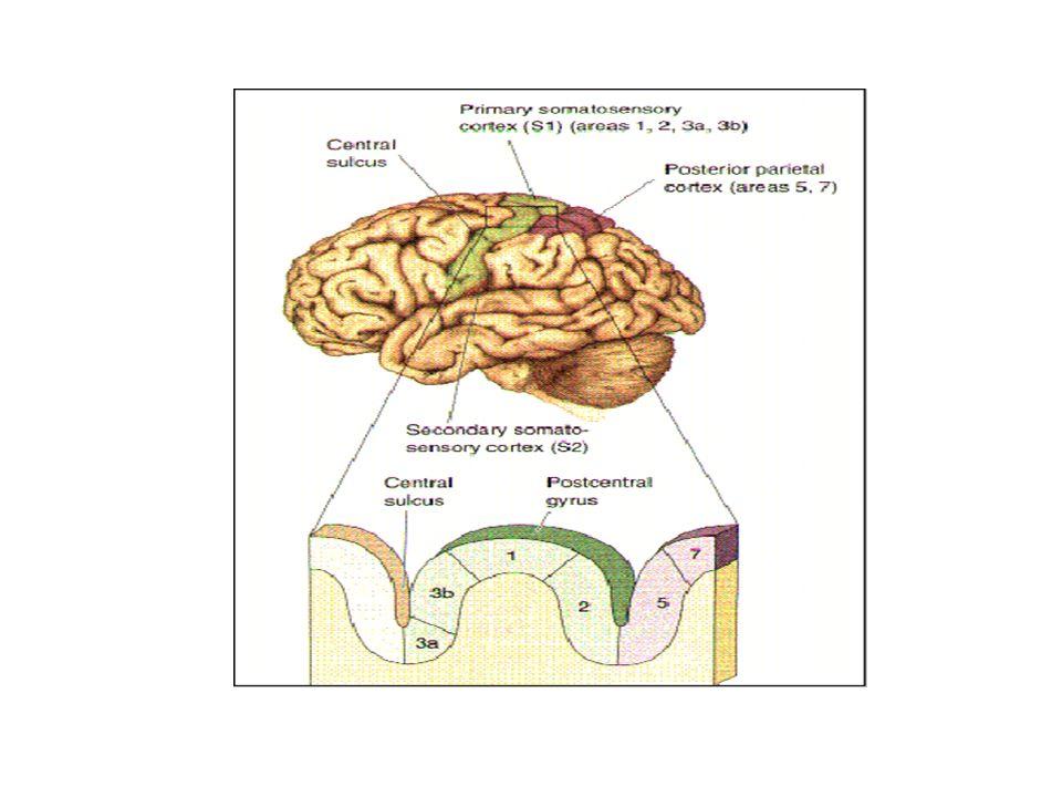 Corteza Sensorial Somática La mitad anterior de la corteza parietal recibe la mayoría de las sensaciones somatosensoriales Su papel es interpretarlas