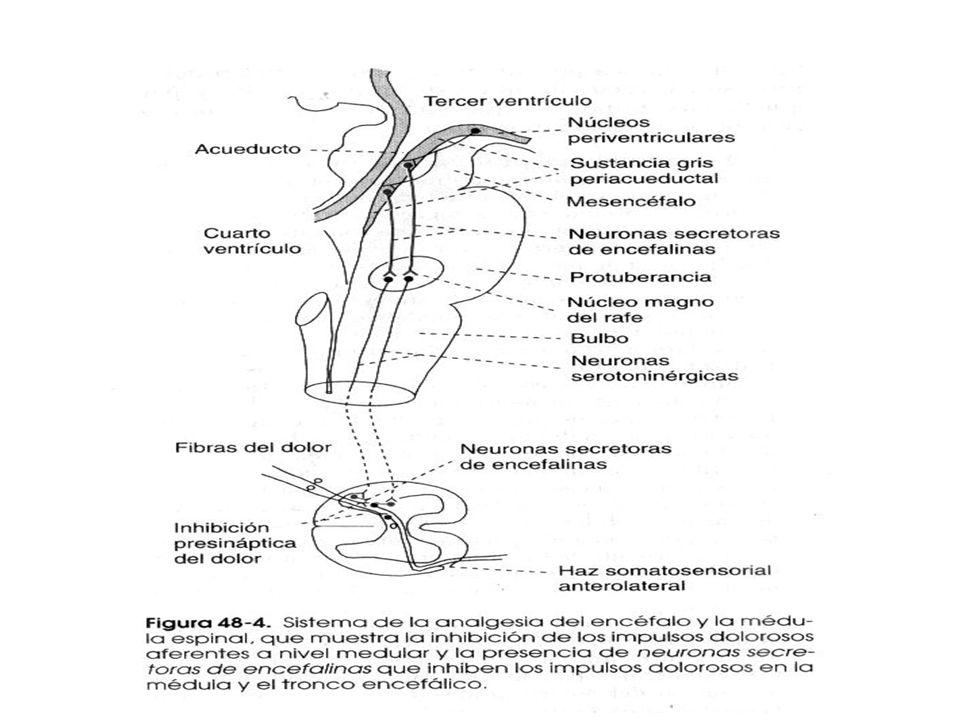 Sustancias opiáceas del encéfalo Endorfinas Encefalinas (inhibición presináptica) Son productos de degradación de tres grandes proteínas: Pro- opiomel