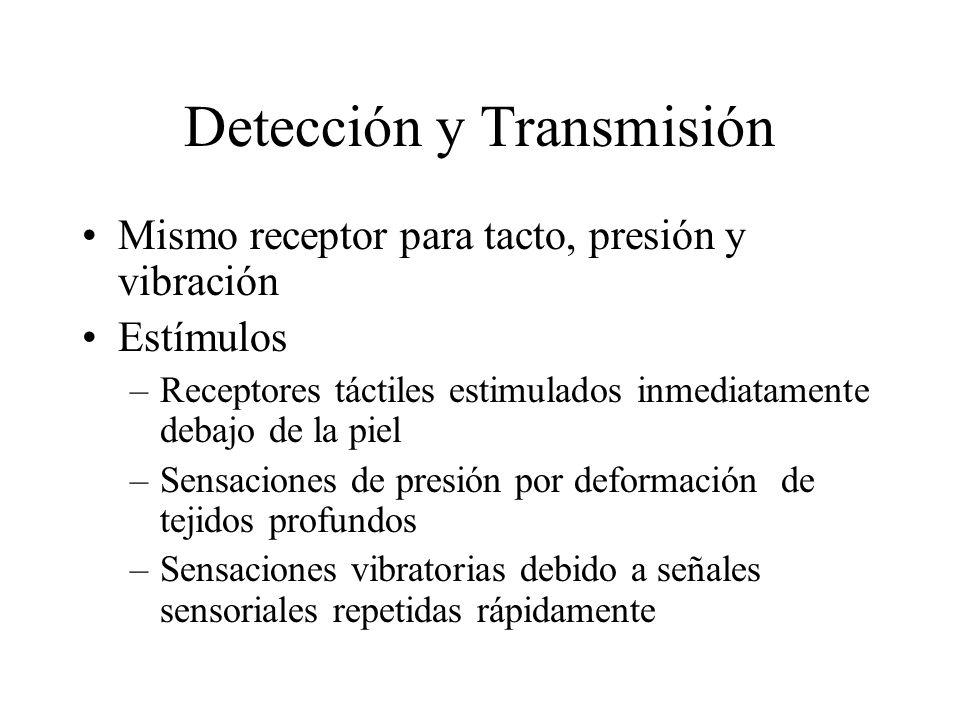 Detección y Transmisión Mismo receptor para tacto, presión y vibración Estímulos –Receptores táctiles estimulados inmediatamente debajo de la piel –Sensaciones de presión por deformación de tejidos profundos –Sensaciones vibratorias debido a señales sensoriales repetidas rápidamente