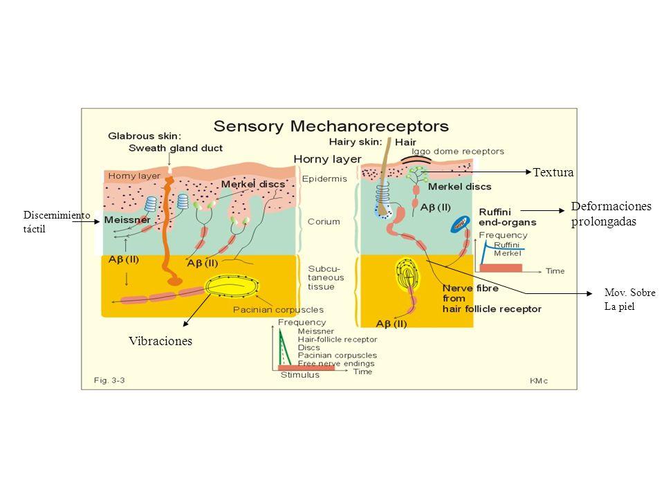 Receptores táctiles Terminaciones nerviosas libres: tacto y presión Corpúsculo de meissner fibra Aβ (piel lampiña) discernimiento táctil Discos de Mer