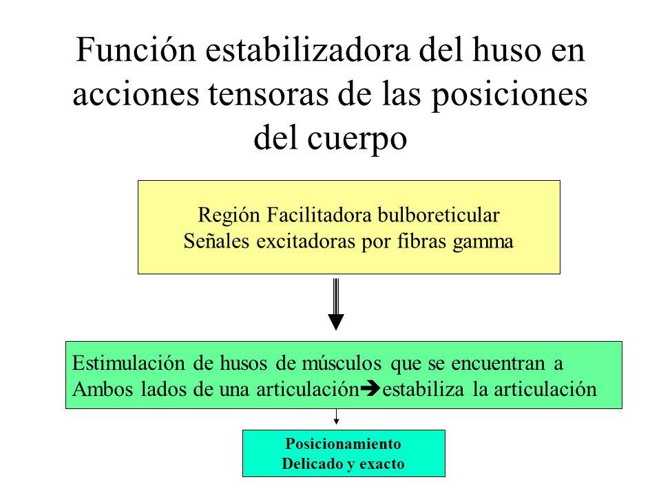 Papel del huso muscular en la actividad motora voluntaria 31 % de fibras motoras del músculo son fibras eferentes gamma Cuando provienen las señales d