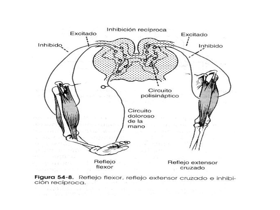 Reflejo Flexor Se inicia por estimulación de terminaciones dolorosas reflejo nociceptivo o de retirada contracción de músculos flexores Receptores del