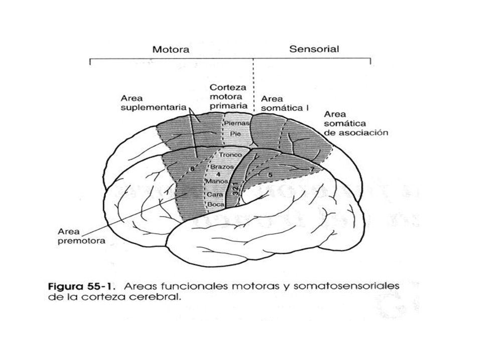 Corteza Motora Ubicación: Anterior al surco central, en 1/3 post de los lóbulos frontales. Se divide en tres subáreas: –Corteza Motora 1ª –Área Premot