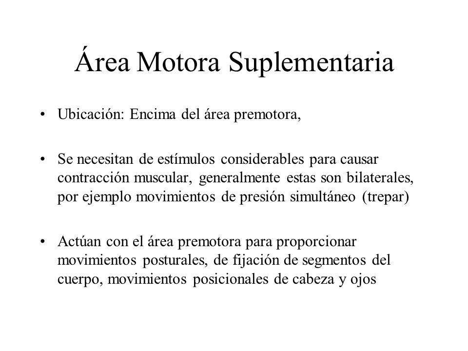 Área Premotora Ubicación: delante de las porciones laterales de la corteza motora 1ª, extendiéndose hasta la cisura de Silvio. Ocupa el área 6 de la c