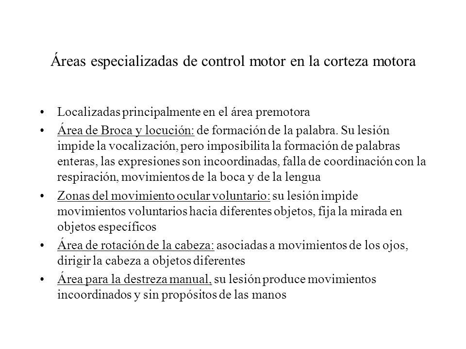 Área Motora Suplementaria Ubicación: Encima del área premotora, Se necesitan de estímulos considerables para causar contracción muscular, generalmente