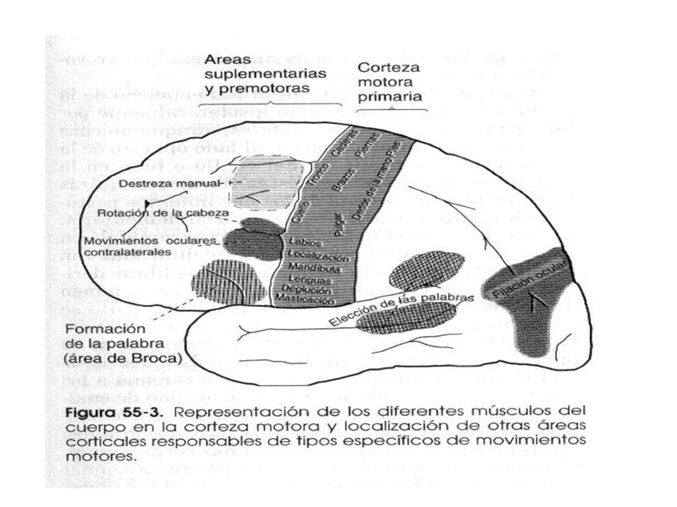 Áreas especializadas de control motor en la corteza motora Localizadas principalmente en el área premotora Área de Broca y locución: de formación de l