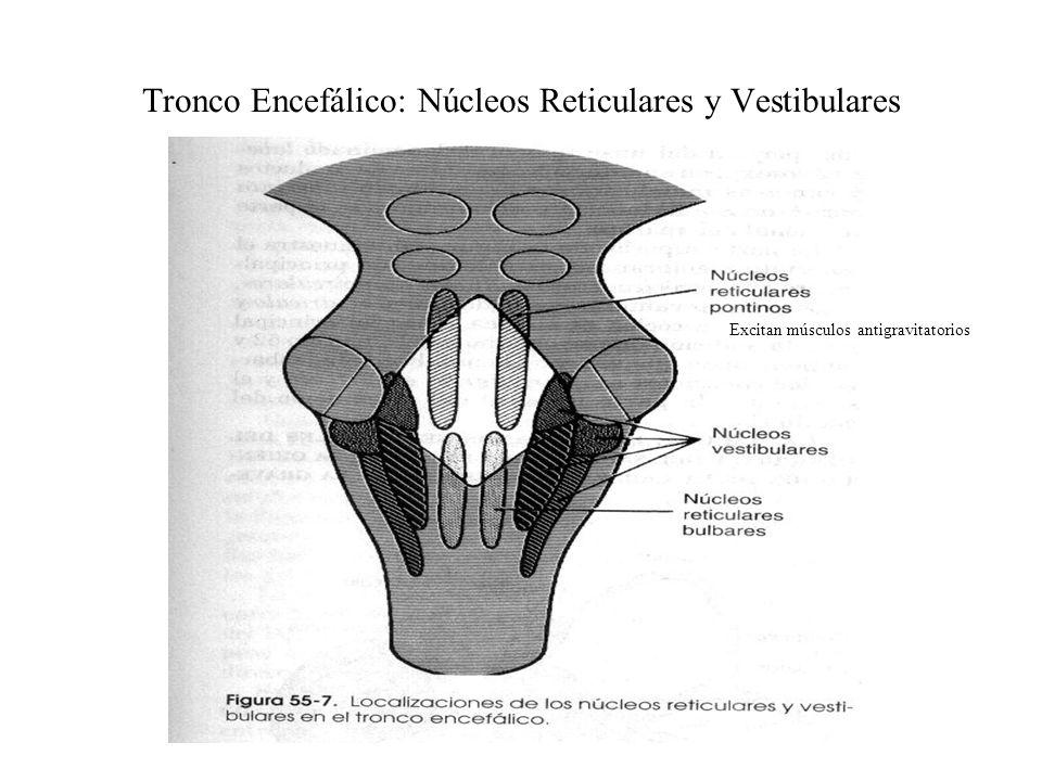 Tronco Encefálico en la regulación Motora Bulbo, Protuberancia, Mesencéfalo Núcleos Motores y sensoriales Funciones en cara y cabeza Control maestro d