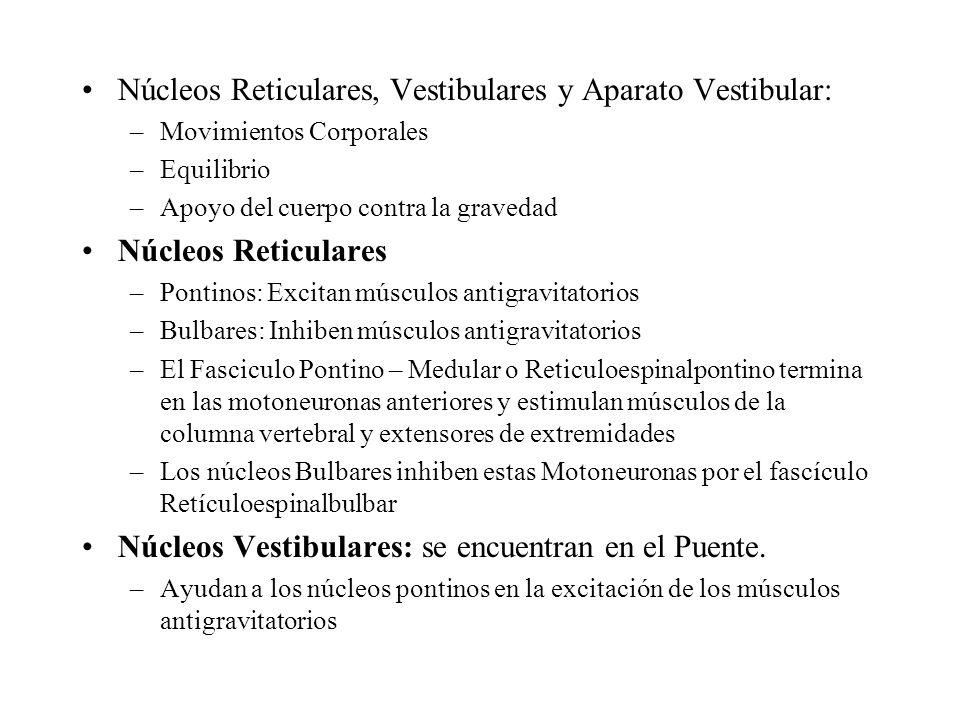Tronco Encefálico: Núcleos Reticulares y Vestibulares Excitan músculos antigravitatorios