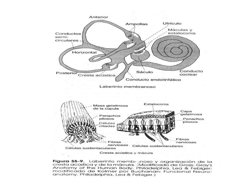 Aparato Vestibular Función: detectar sensaciones de equilibrio Comprende un conjunto de tubos y cavidades en el peñasco óseo Laberinto óseo y dentro s