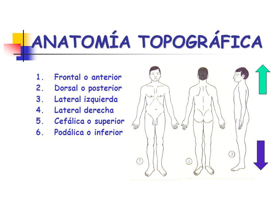 ANATOMÍA TOPOGRÁFICA 1.Frontal o anterior 2.Dorsal o posterior 3.Lateral izquierda 4.Lateral derecha 5.Cefálica o superior 6.Podálica o inferior