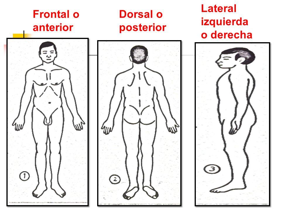 Frontal o anterior Lateral izquierda o derecha Dorsal o posterior