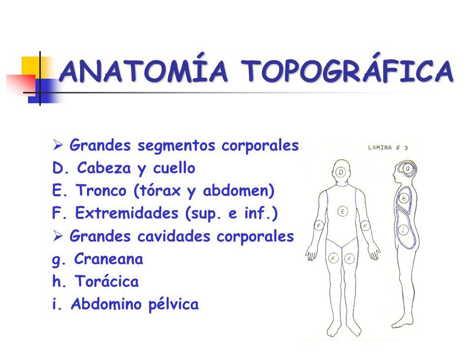 ANATOMÍA TOPOGRÁFICA Grandes segmentos corporales: D. Cabeza y cuello E. Tronco (tórax y abdomen) F. Extremidades (sup. e inf.) Grandes cavidades corp