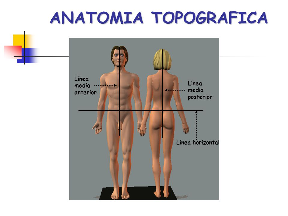 ANATOMIA TOPOGRAFICA Línea media anterior Línea media posterior Línea horizontal