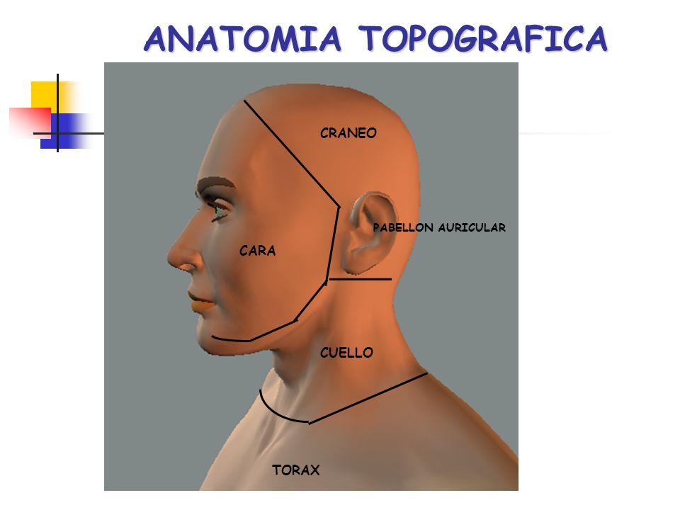 ANATOMIA TOPOGRAFICA CRANEO CARA PABELLON AURICULAR CUELLO TORAX