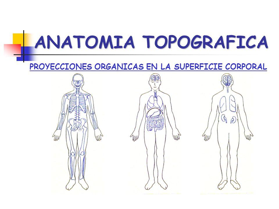 ANATOMIA TOPOGRAFICA PROYECCIONES ORGANICAS EN LA SUPERFICIE CORPORAL
