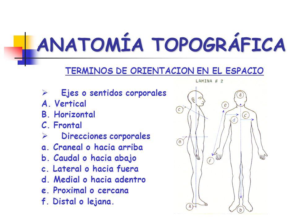 ANATOMÍA TOPOGRÁFICA TERMINOS DE ORIENTACION EN EL ESPACIO Ejes o sentidos corporales A. Vertical B. Horizontal C. Frontal Direcciones corporales a. C