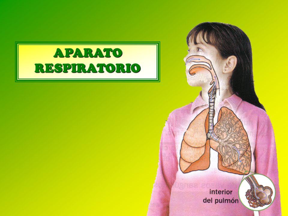 La función del aparato respiratorio es proporcionar oxígeno a nuestro cuerpo y expulsar al exterior el dióxido de carbono.