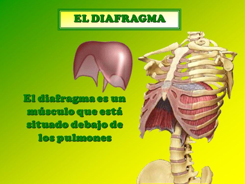 EL DIAFRAGMA El diafragma es un músculo que está situado debajo de los pulmones