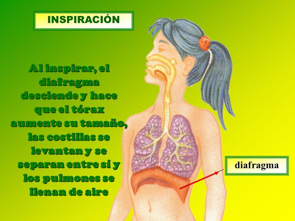 diafragma Al inspirar, el diafragma desciende y hace que el tórax aumente su tamaño, las costillas se levantan y se separan entre sí y los pulmones se llenan de aire INSPIRACIÓN