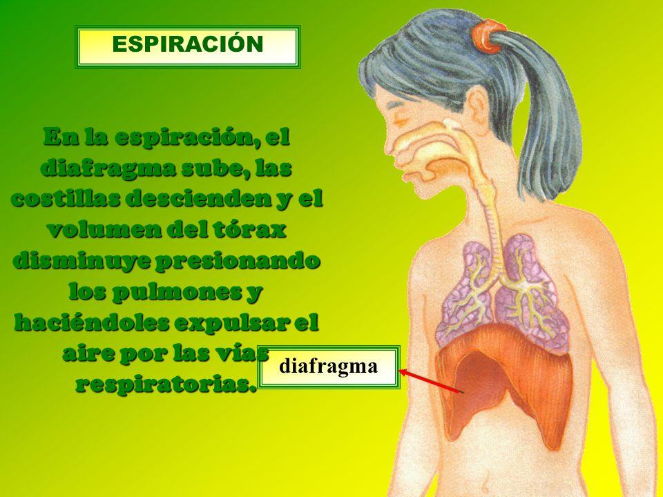 diafragma En la espiración, el diafragma sube, las costillas descienden y el volumen del tórax disminuye presionando los pulmones y haciéndoles expulsar el aire por las vías respiratorias.