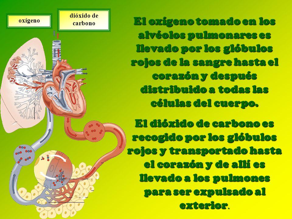 El oxígeno tomado en los alvéolos pulmonares es llevado por los glóbulos rojos de la sangre hasta el corazón y después distribuido a todas las células del cuerpo.