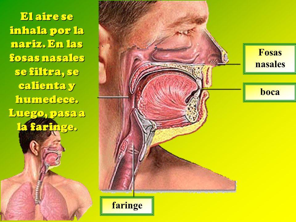 El aire se inhala por la nariz.En las fosas nasales se filtra, se calienta y humedece.