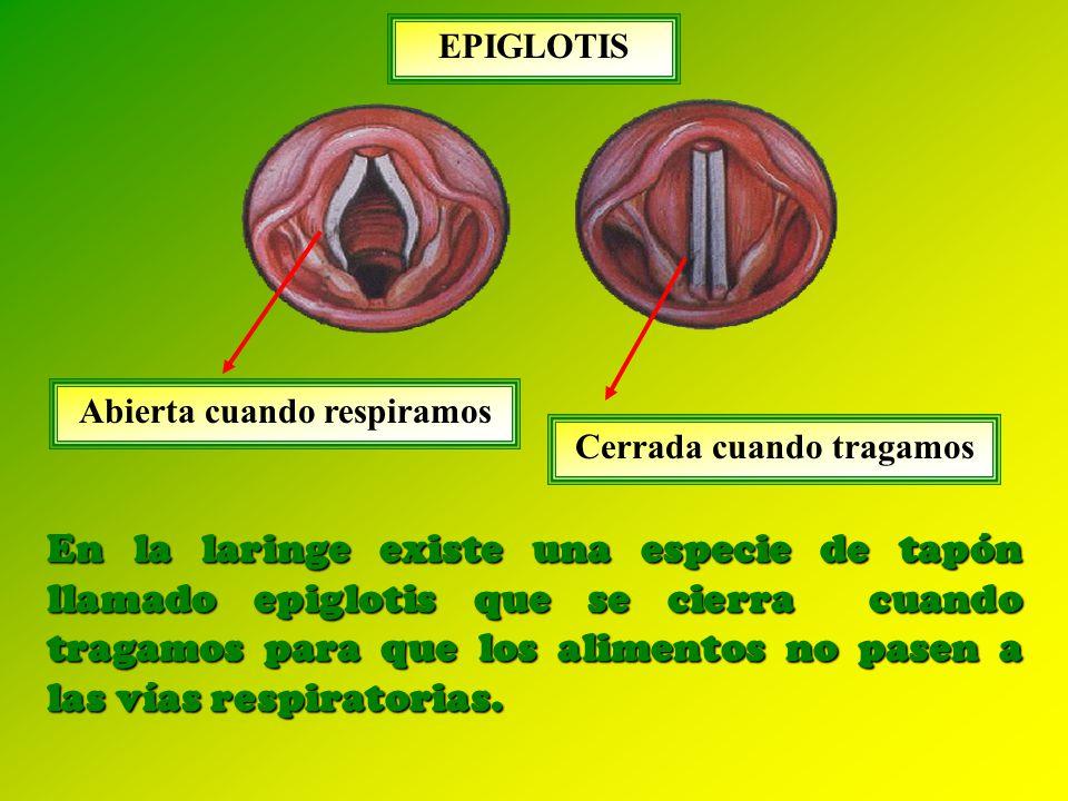 En la laringe existe una especie de tapón llamado epiglotis que se cierra cuando tragamos para que los alimentos no pasen a las vías respiratorias.