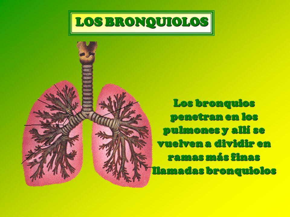Los bronquios penetran en los pulmones y allí se vuelven a dividir en ramas más finas llamadas bronquiolos LOS BRONQUIOLOS
