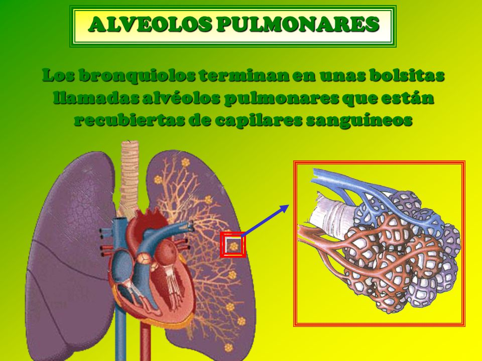 ALVEOLOS PULMONARES Los bronquiolos terminan en unas bolsitas llamadas alvéolos pulmonares que están recubiertas de capilares sanguíneos