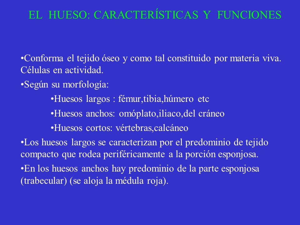EL HUESO: CARACTERÍSTICAS Y FUNCIONES Conforma el tejido óseo y como tal constituido por materia viva. Células en actividad. Según su morfología: Hues